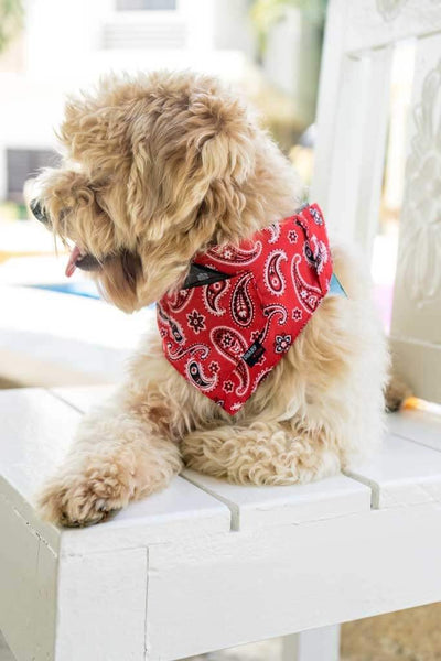 a poodle mix is wearing a red paisley bandana while lying down by the pool