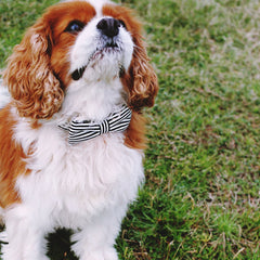 Dog Bow Tie and Collar Set : Clever You (Black & White Stripes)