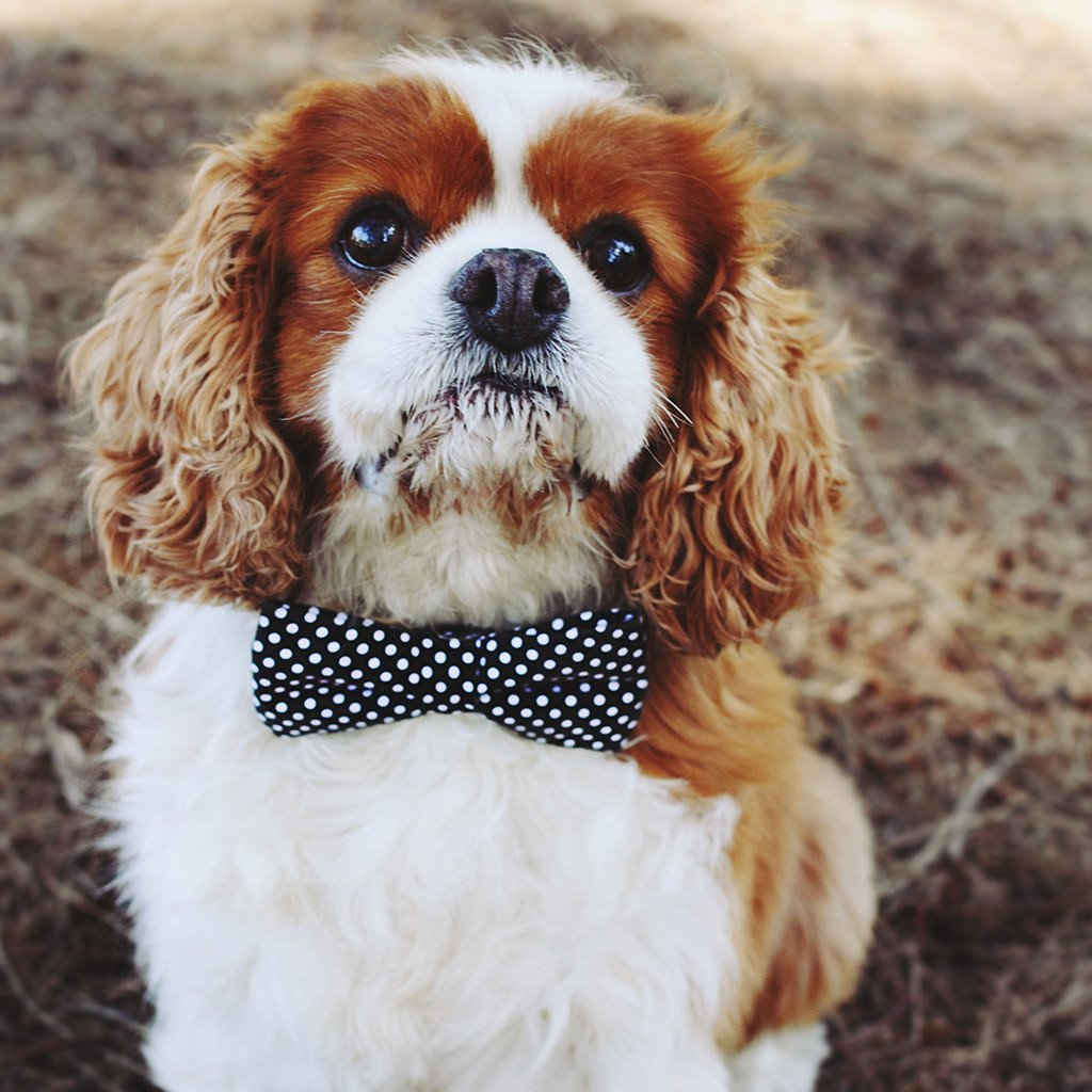 Dog Bow Tie: Black Polka - Dharf - 2