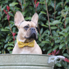 Dog Bow Tie and Collar Set : Bumble Bee