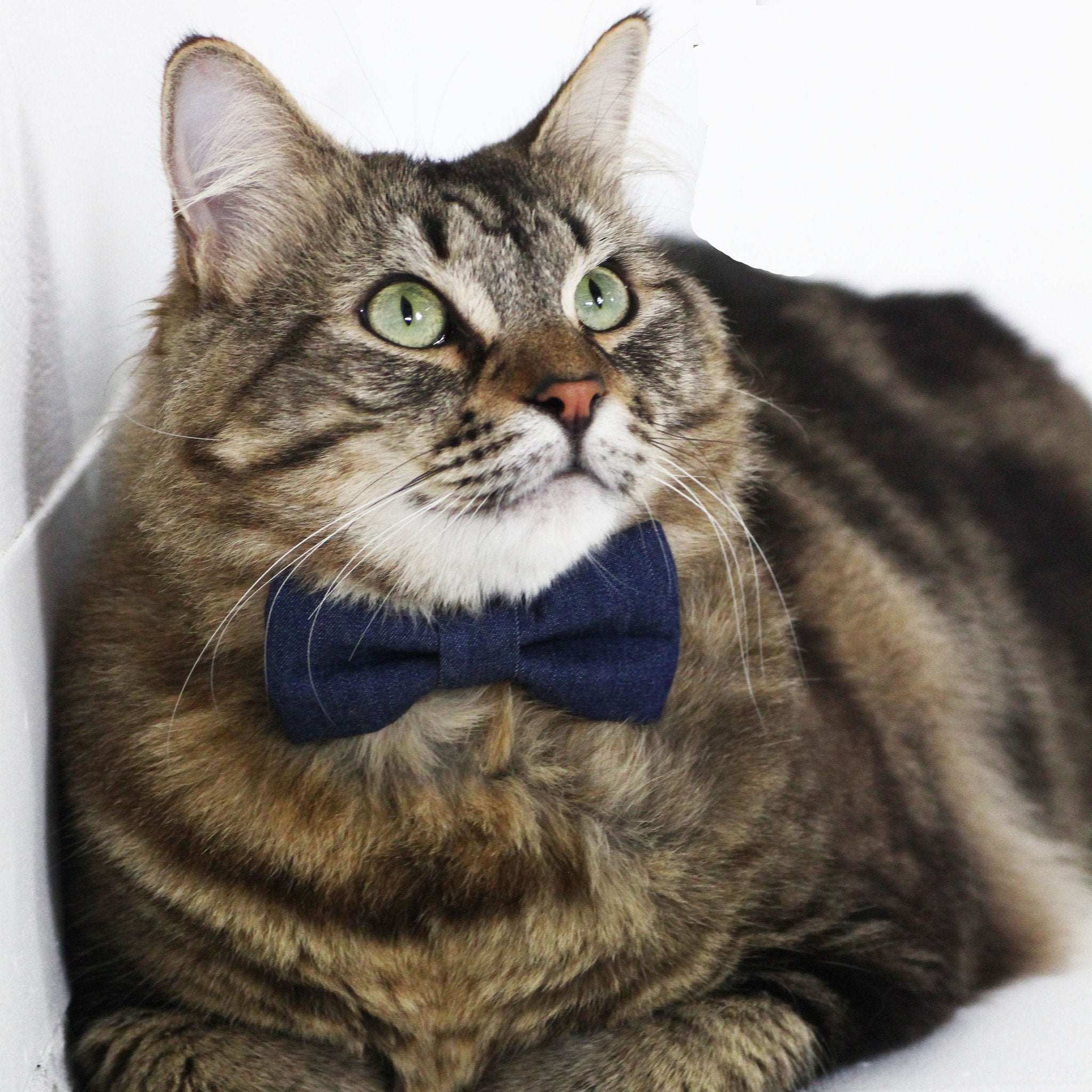 Cat Collar and Bow Tie : Jeans