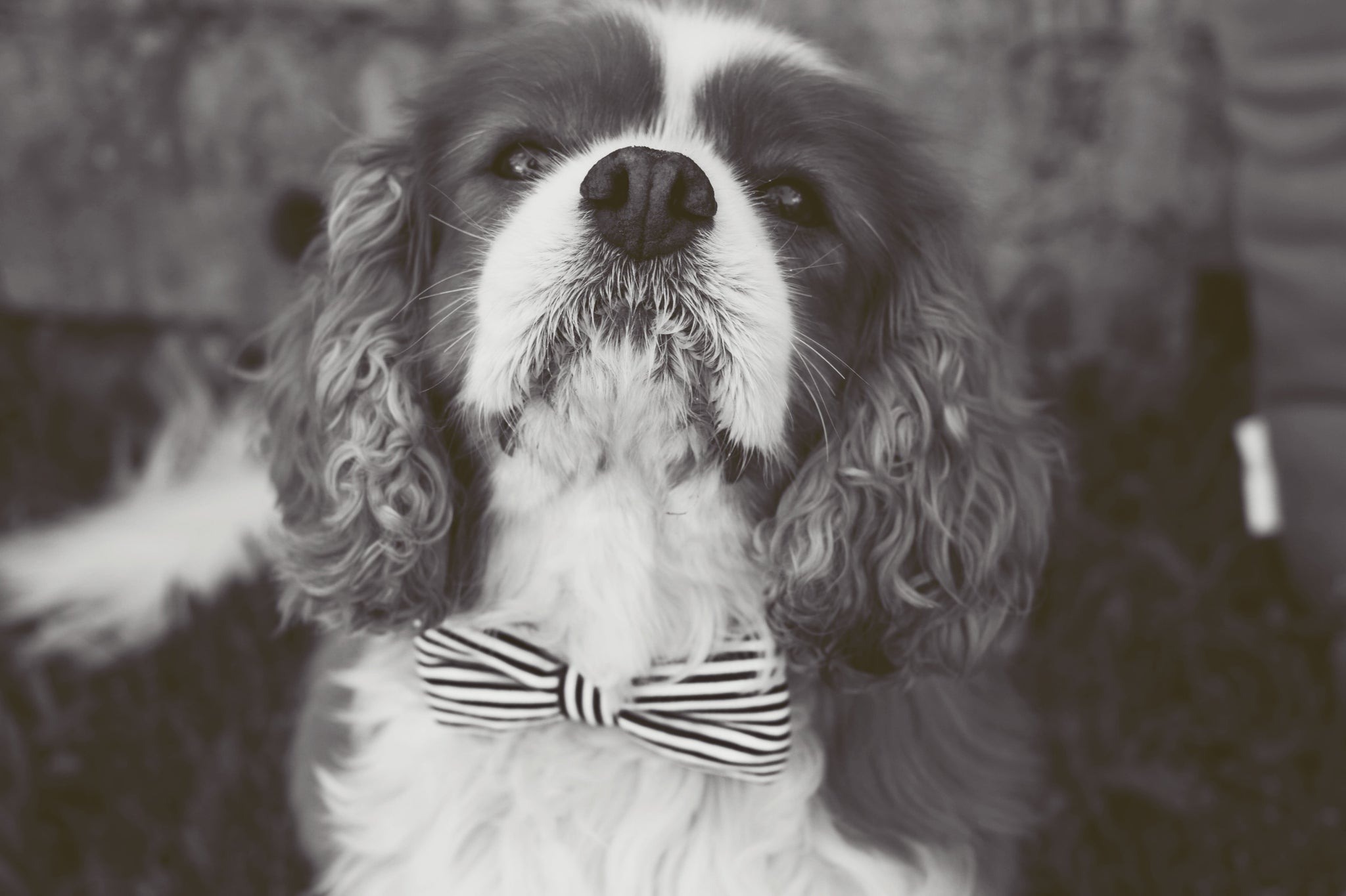 Dog Bow Tie : Clever You - Dharf - 2