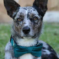 NEW Dog Bow Tie and Collar Set : Emerald