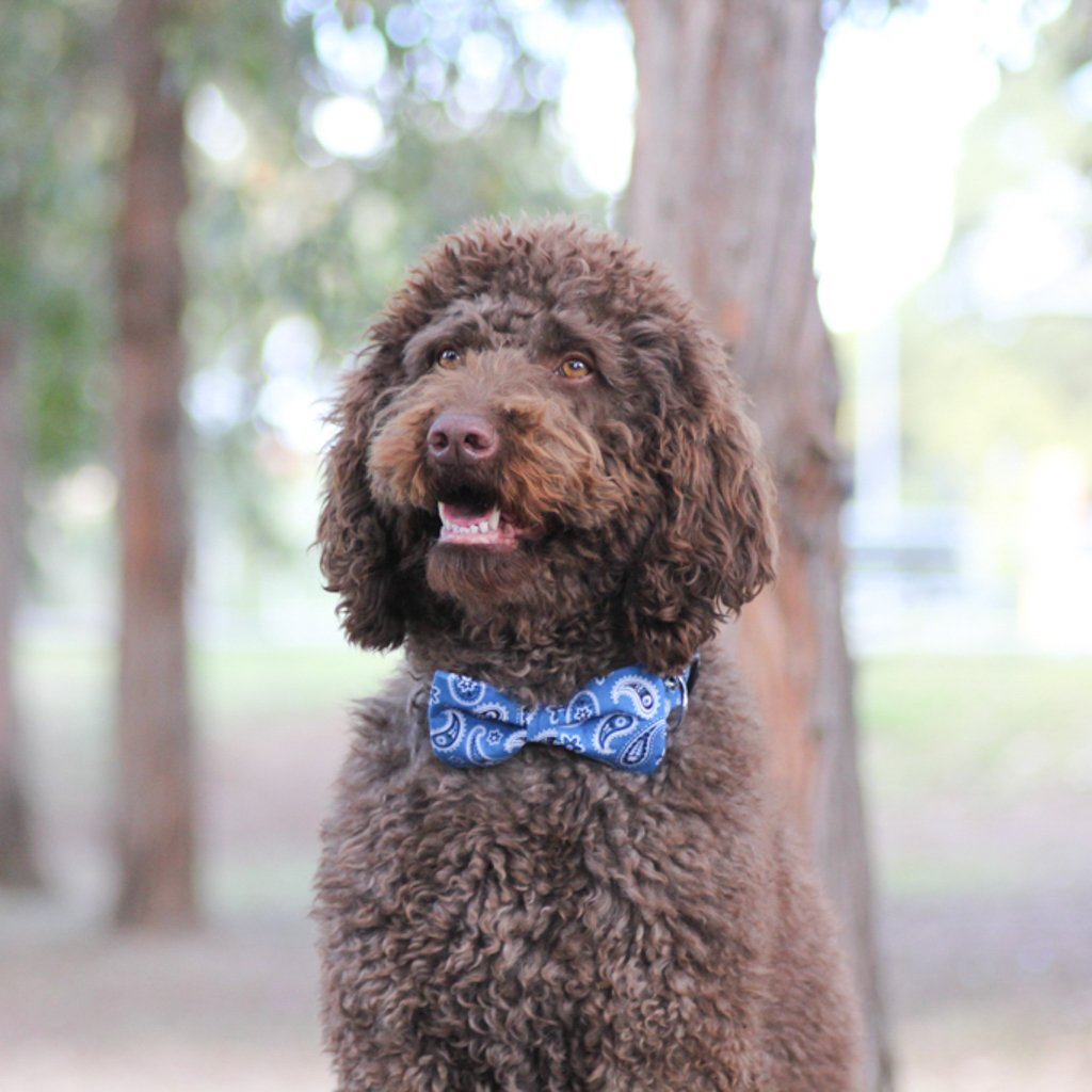Dog Bow Tie and  Collar : Blue Paisley