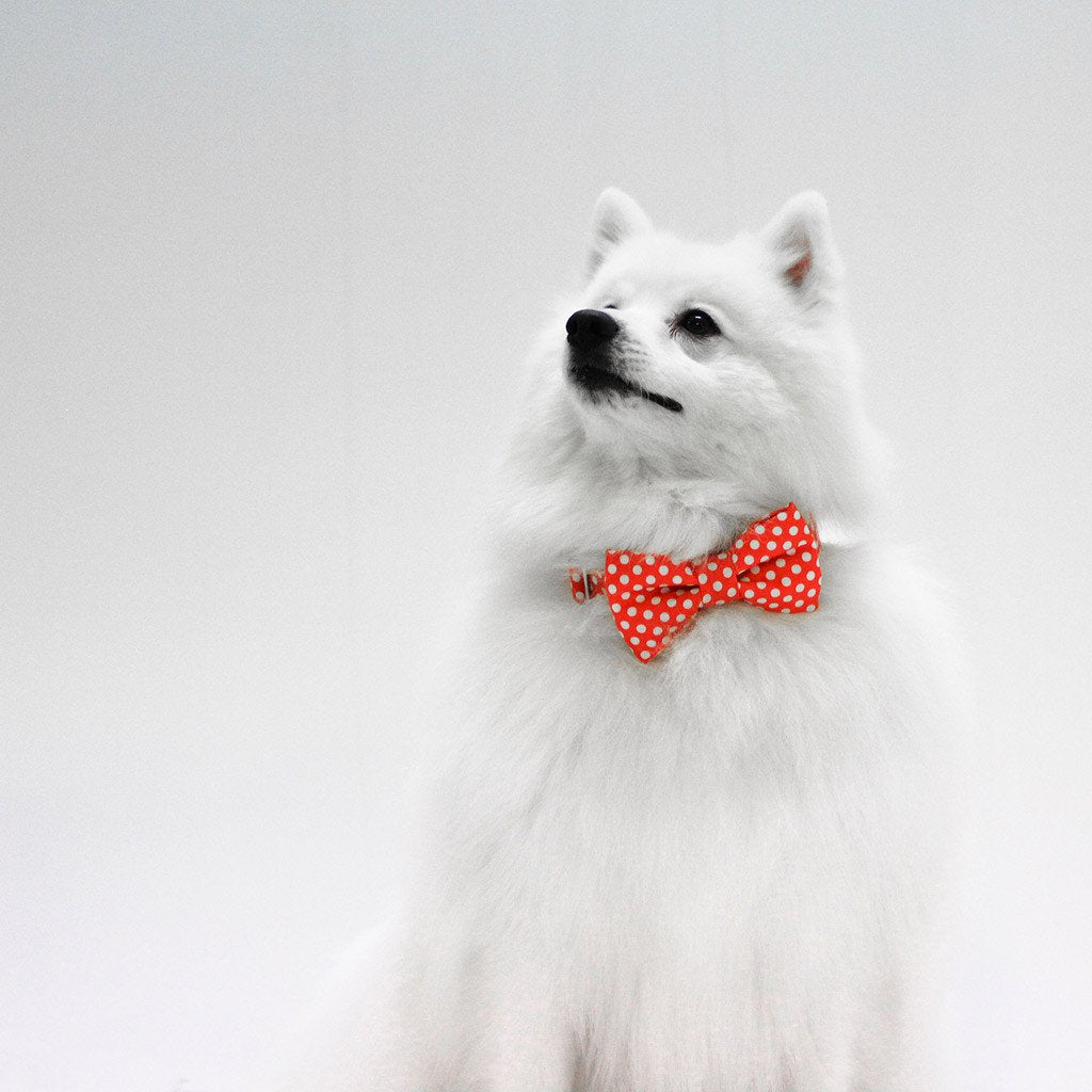 Dog Bow Tie and Collar Set : Orange Polka - Dharf - 4