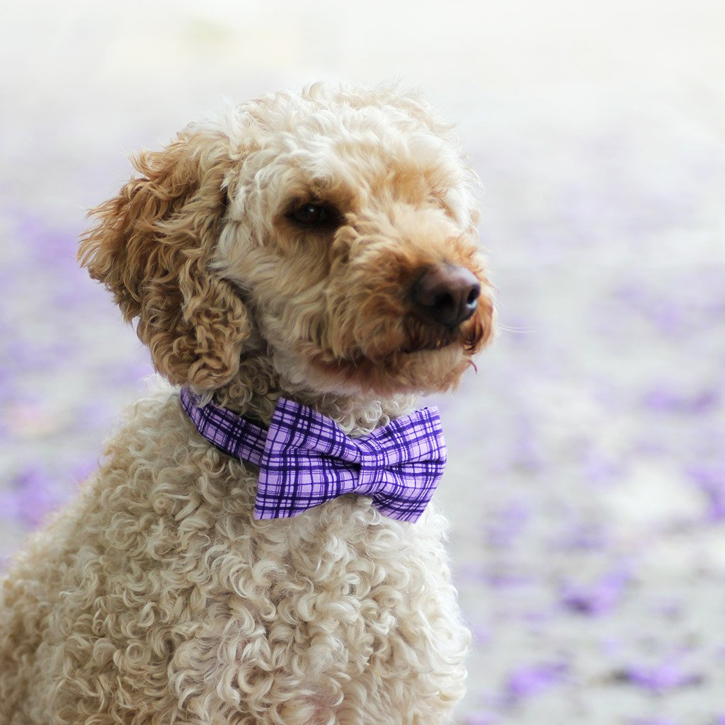 Dog Bow Tie and  Collar Set : Purple Criss-Cross