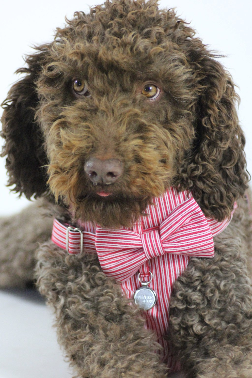 Dharf dog harness and matching bow tie in red pinstripes