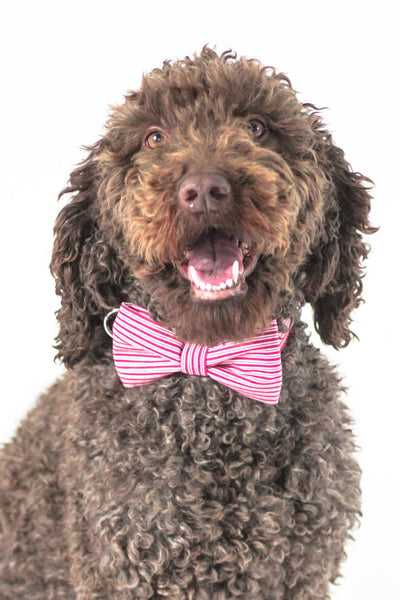 Dharf dog bow tie in red pin stripes