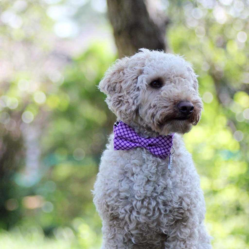 Dog Bow Tie and  Collar Set : Shades of Purple - Dharf - 2