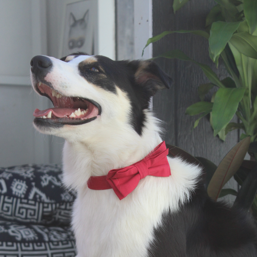 NEW Dog Bow Tie and Collar Set : Shiraz