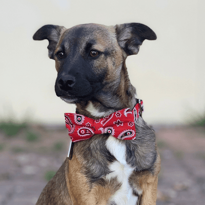 Dog Bow Tie and  Collar : Red Paisley