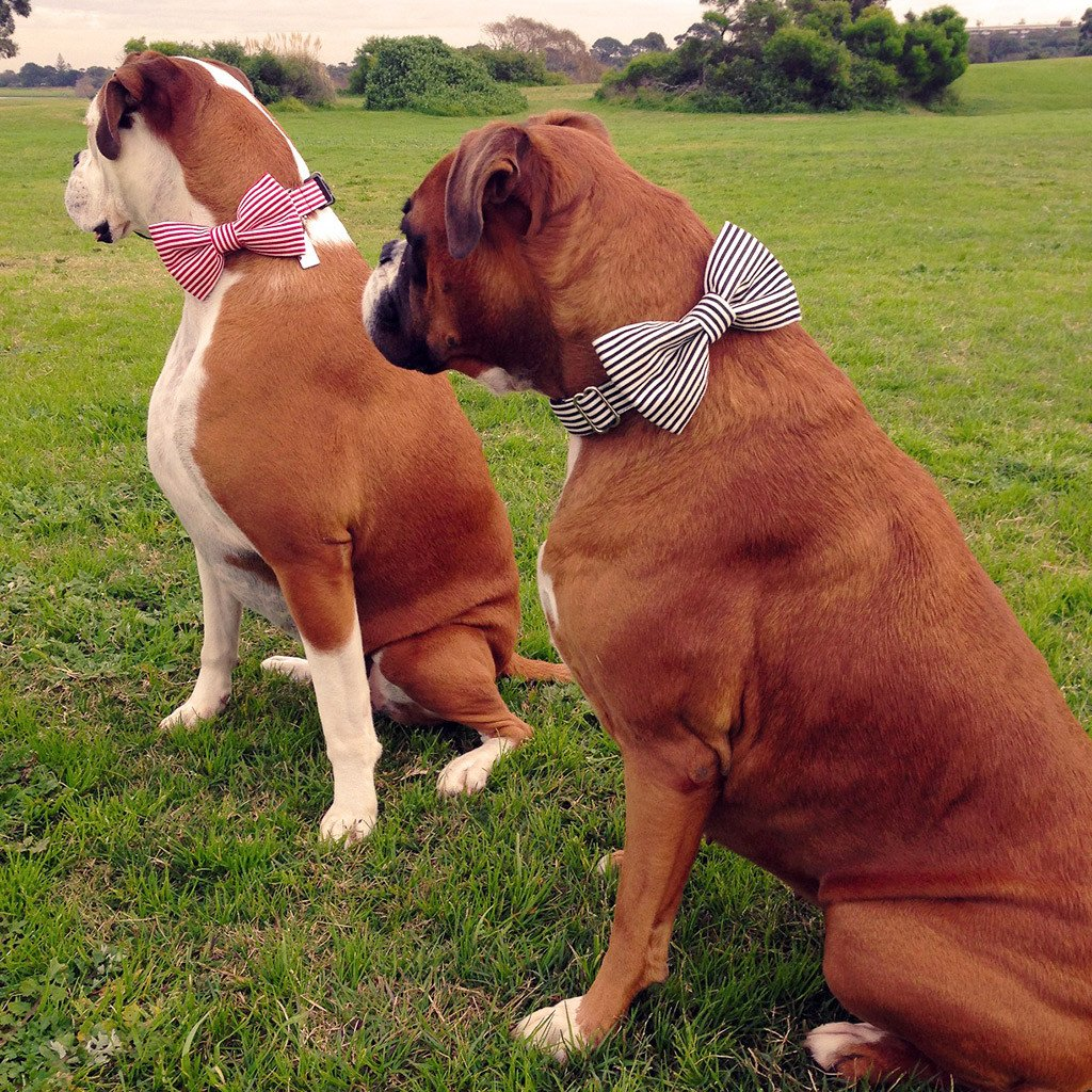 Dharf dog matching bow tie and collar set in red and white stripes