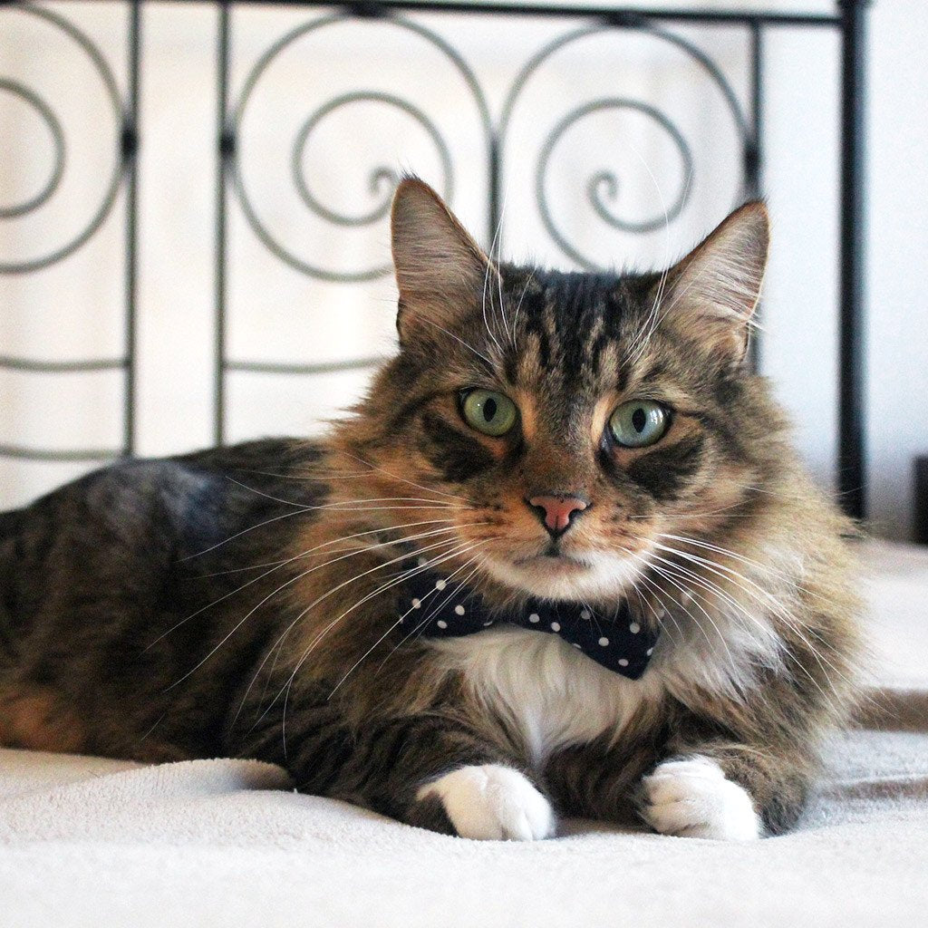 Dharf cat bow tie collar in blue polka dots