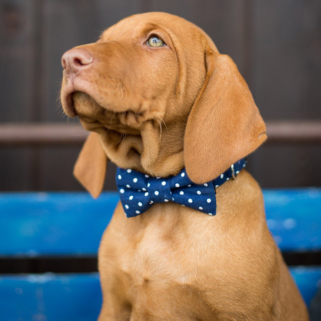 Dog Bow Tie and Collar Set : Spirited Blue Polka