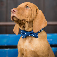 Dog Collar, Bow tie and Leash Set : Blue Polka