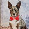 Dog Bow Tie and Collar Set : Corduroy Flame Red