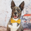 Dog Bow Tie and Collar Set : Corduroy Ginger