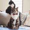 NEW Cat Collar and Bow Tie: House of Wales