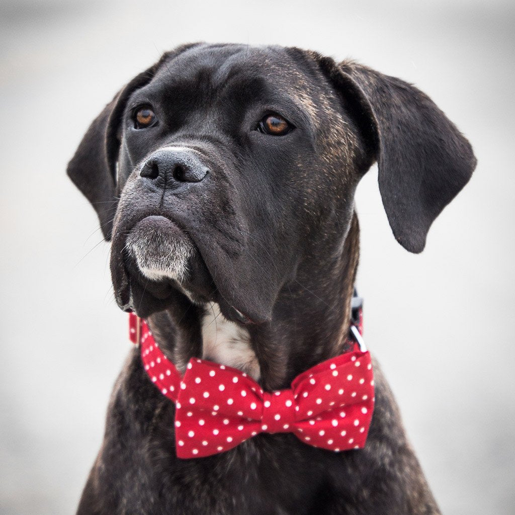 Dog Bow Tie and Collar Set : Red Polka - Dharf - 2