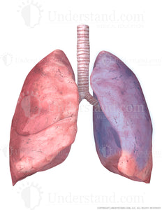 Lungs and Trachea with Superior Left Lobe Highlighted Image