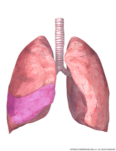 lungs-and-trachea-with-middle-right-lobe-highlighted