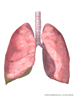 Lungs and Trachea with Inferior Right Lobe Highlighted Image