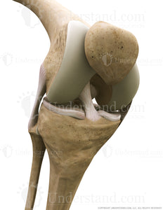 Knee Bone, Ligaments Anterior Three Quarter Flexed Image