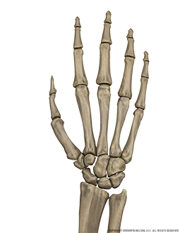 Hand and Wrist Bone Dorsal Image