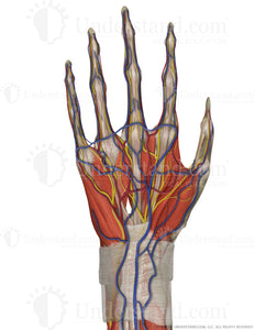 Hand and Wrist Complete Palmar Image