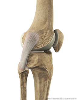 Knee Bone, Ligaments Lateral Extended Image