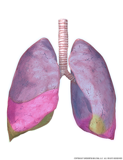 Lungs and Trachea with Lobes Highlighted Image