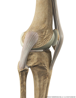 Knee Bone, Ligaments with Patellar Tendon Lateral Extended Image