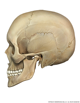 Skull Lateral Image