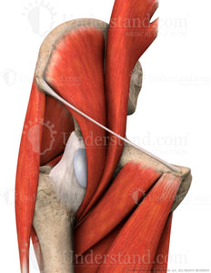 Hip Bone, Muscles, Ligaments Anterior Image