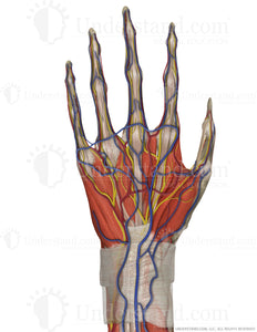 Hand and Wrist Complete Palmar (with Palmaris Longus M) Image