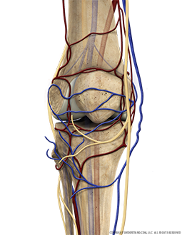 Knee Bone, Circulation, Nerves, Anterior Extended Image