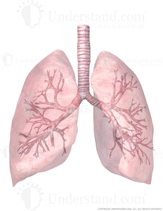 Transparent Lungs and Trachea with Bronchial Tree View 2 Image