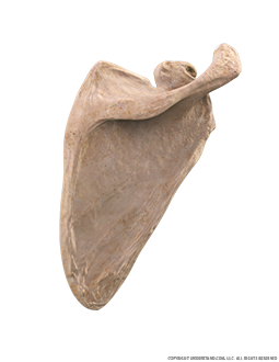 Scapula Posterior Three Quarter Image