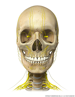Head and Neck Bone, Nerves Anterior Image