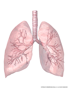 transparent-lungs-and-trachea-with-bronchial-tree-view-2