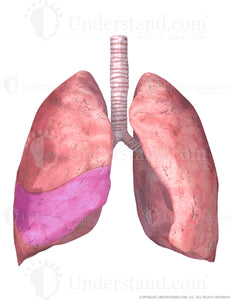 Lungs and Trachea with Middle Right Lobe Highlighted Image