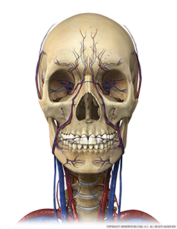 Head and Neck Bone, Circulation Anterior Image