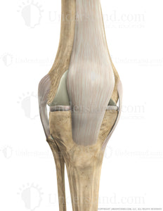 Knee Bone, Ligaments Anterior Extended Image