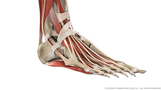 Foot and Ankle Bone, Ligaments, Muscles Image