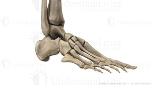 Foot and Ankle Bone Image