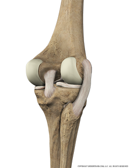 Knee Bone, Ligaments Posterior Extended Image