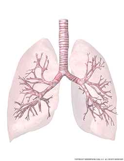 Transparent Lungs and Trachea with Bronchial Tree View 1 Image