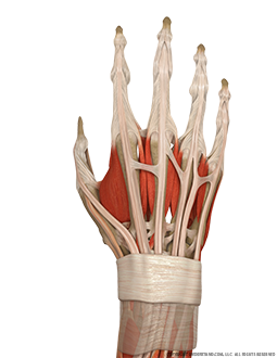 Hand and Wrist Bone, Ligaments, Muscles Dorsal Image