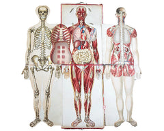 An Anatomical Wall Chart, circa 1910