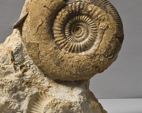 An English Ammonite
